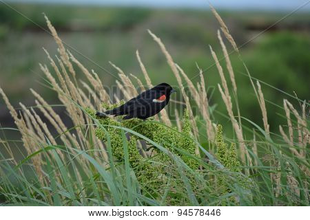A Red Winged Black Bird