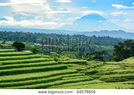 Bali Rice Terrace, Rice Field Of Jatiluwih