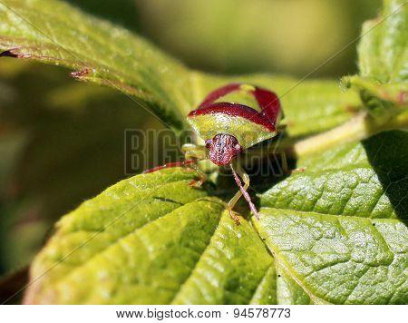 Green and Burgundy Stink Bug - Banasa dimidiata