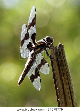 Female Eight-spotted Skimmer Dragonfly