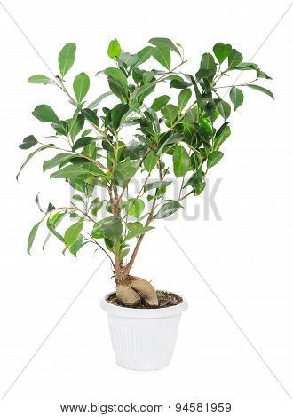 Ficus Ginseng In Pot