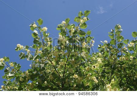 The blossoming linden tree