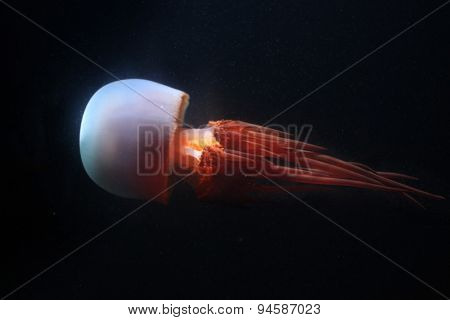 Flame jellyfish (Rhopilema esculentum). Wildlife animal.