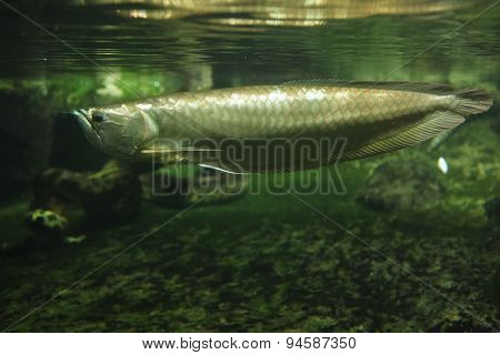Silver arowana (Osteoglossum bicirrhosum) swimming underwater. Wildlife animal.