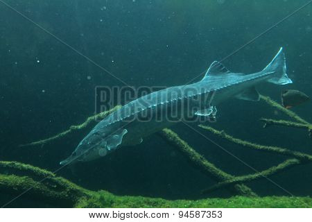 European sturgeon (Huso huso), also known as the beluga. Wildlife animal.