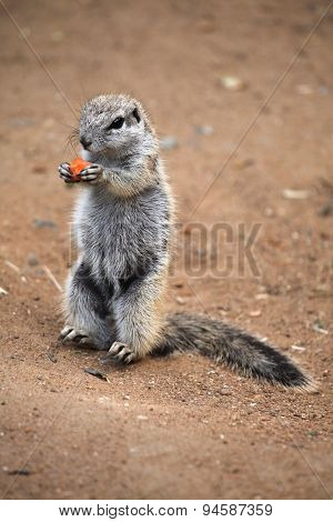 Cape ground squirrel (Xerus inauris). Wildlife animal.