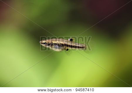 Mosquito fish (Heterandria formosa), also known as the least killifish. Wildlife animal.