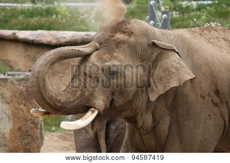 Indian elephant (Elephas maximus indicus) uses trunk to throw sand on its back. Wildlife animal.