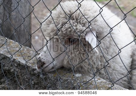 Sheep Behind The Fence