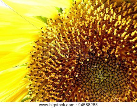 Sunflower Core