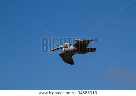 Pelican At A Coastal Site