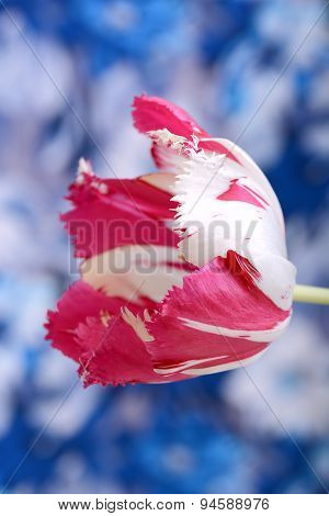 Red Tulips On Blue And White Background