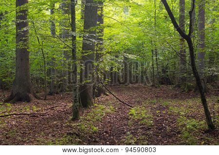 Deciduous Stand Of Bialowieza Forest And Path
