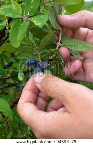 Hands Of A Woman Gathering Berries Honeysuckle