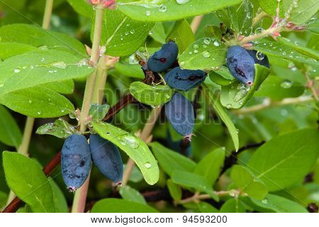 Honeysuckle Berries Growing On The Branch