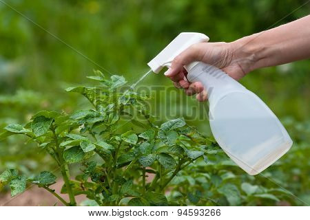 Spraying Leaves Of Potatoes