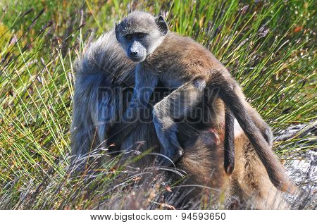 Baboons - Cape Of Good Hope - South Africa