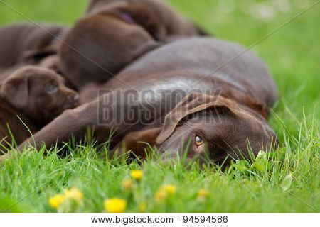 Female Labrador Retriever Dog With Puppies