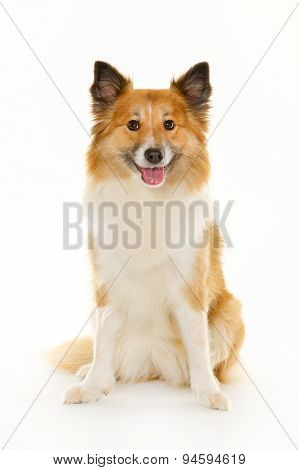 Icelandic Sheepdog In Studio