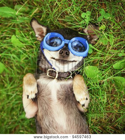 a cute chihuahua wearing goggles in the grass (SHALLOW DOF on the eyes)