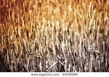 Many Ears Of Wheat