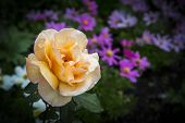 pic of diffusion  - View of an  orange rose on a diffused background - JPG