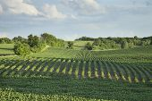 picture of soybeans  - Rows of soybeans in a Minnesota field with trees and clouds in late afternoon light - JPG