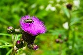 stock photo of summer insects  - Chafer beetle on flower of Thistle - JPG
