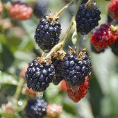 foto of blackberries  - Blackberry delicious juicy fresh berries on the bushes - JPG