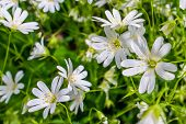 picture of wildflowers  - White wildflowers in a green garden in the spring - JPG