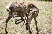 picture of deer rack  - Young male red deer in spring time with winter coat of hair - JPG