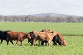 stock photo of pasture  - a few cattle walking through a grass pasture feeding with clouds in sky - JPG