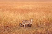stock photo of cheetah  - Male cheetah walking in grass and looking for its pray in Masai Mara Kenya - JPG