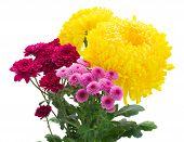stock photo of mums  - Yellow - JPG