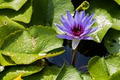 picture of water bug  - Purple water lily floating on the water beside its big green leafs during the sunny day - JPG