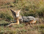 pic of jackal  - a jackal resting on grassy ground in Botswana - JPG