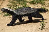 pic of badger  - Honey badger  - JPG