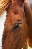 picture of brown horse  - Portrait of beautiful brown horse - JPG