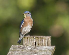 image of bluebird  - An Eastern Bluebird holding a captured green worm in his beak - JPG