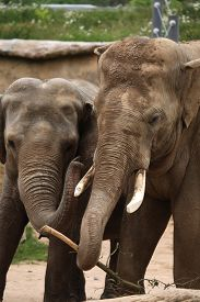image of indian elephant  - Two Indian elephants  - JPG