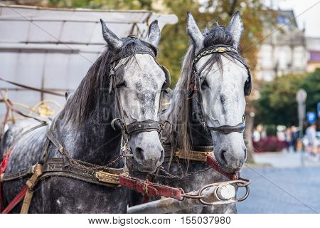 two light gray horse in harness on the street