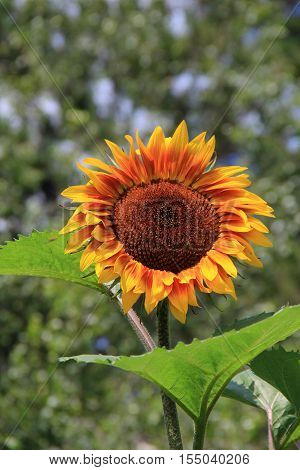 Large sunflower with green leaves, stands tall in Summertime  garden, petals open to the warm sunshine.