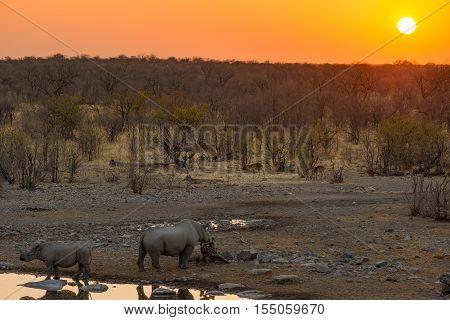 Rare Black Rhinos drinking from waterhole at sunset. Wildlife Safari in Etosha National Park the main travel destination in Namibia Africa.