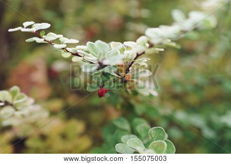 barberry bush covered with morning frost, shallow focus