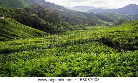 Tea is grown at a plantation in Cameron Highlands, Malaysia