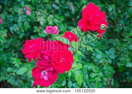 Red roses bush in the garden stock photo