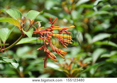Hummingbird Bush Flower