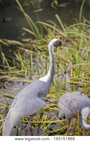 Natural Portrait Of White-naped Crane Bird From China