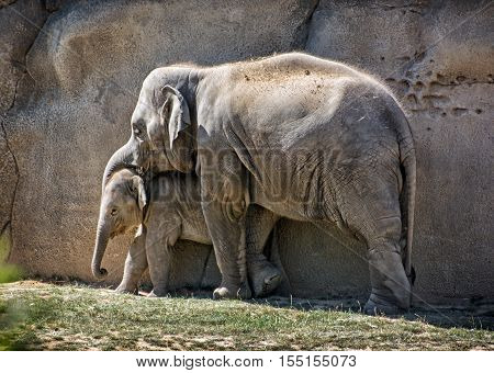 Asian elephant - Elephas maximus. Mother with cub. Animal scene. Beauty in nature.