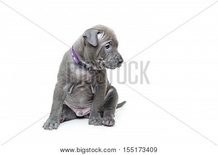 One month old thai ridgeback puppy dog in purple collar sitting. Isolated on white. Copy space.